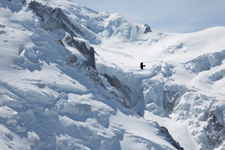 Choucas Aiguille du Midi